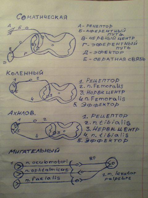 Современная теория мышечного сокращения и расслабления физиология