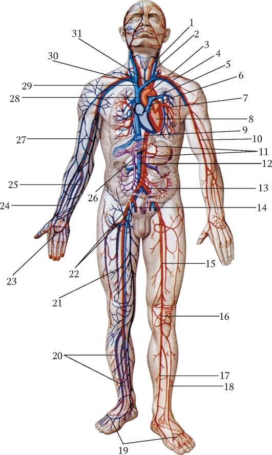 венозная система человека картинки социальных сетях