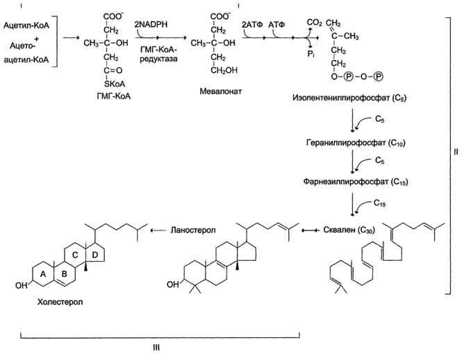 cholesterol sythesis Hormones and vitamin d - cholesterol is an important precursor molecule for the synthesis of vitamin d and the steroid hormones like corticosteroids, sex-steroids (sex hormones like estrogen, progesterone and testosterone etc) cholesterol synthesis the liver is the primary organ that synthesizes cholesterol.