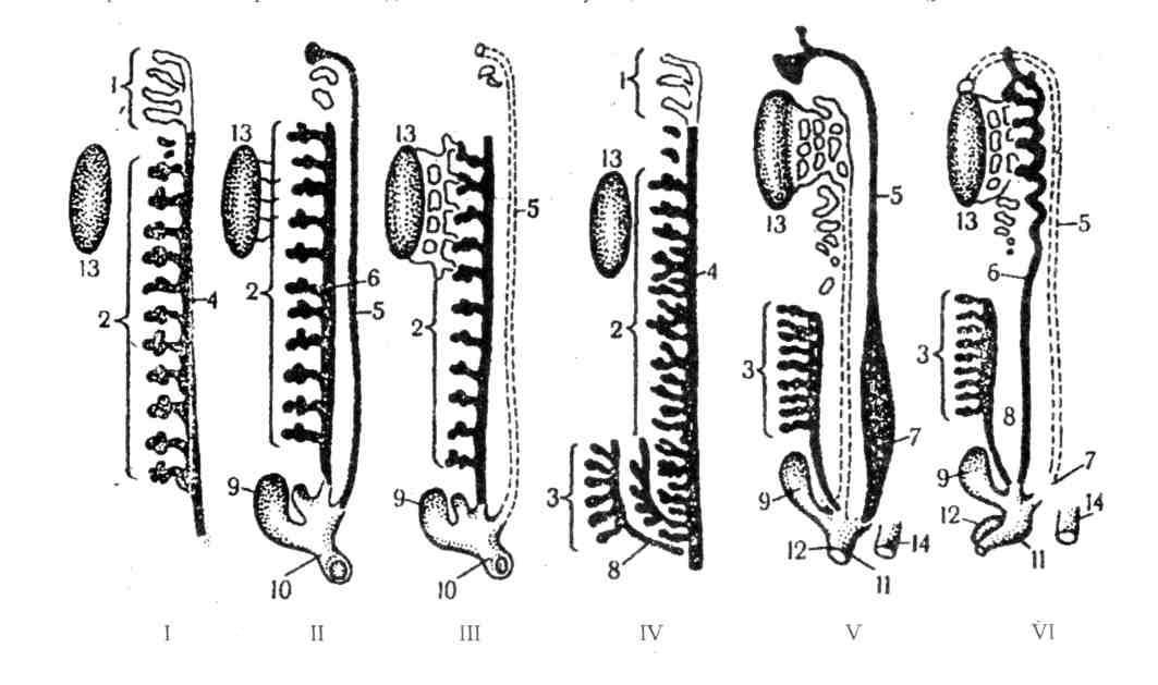 может картинка эволюция выделительной системы чего обычно начинается
