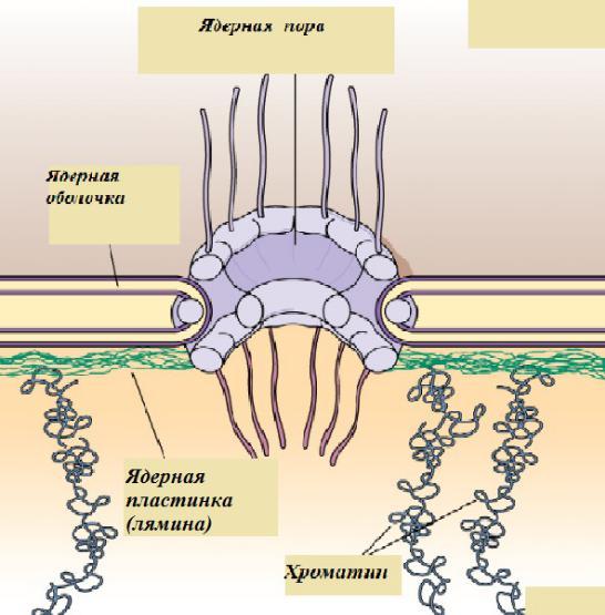 Клеточный конвейер при синтезе углеводов принципа конвейеров производства