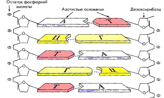 Кто доставляет аминокислоты к месту синтеза белка