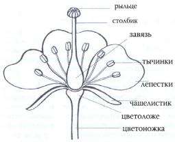 Доклад по биологии цветок 3791