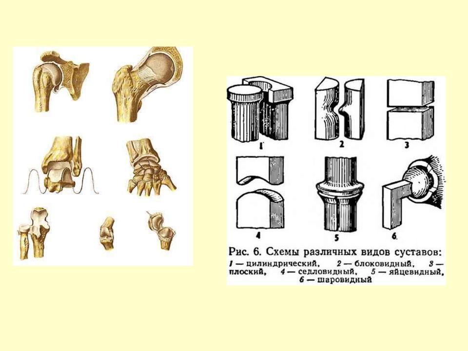 Виды суставов человека в картинках