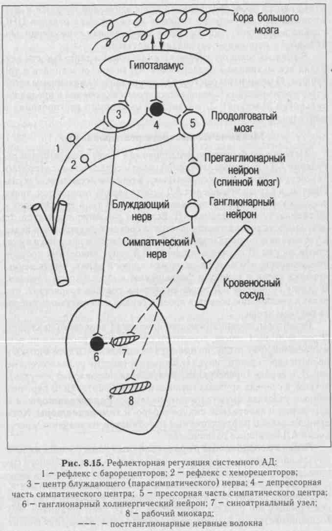 Системная регуляция артериального давления thumbnail