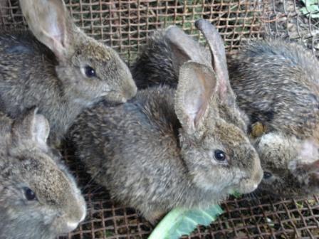 Кокцидиоз Эймериоз у кроликов