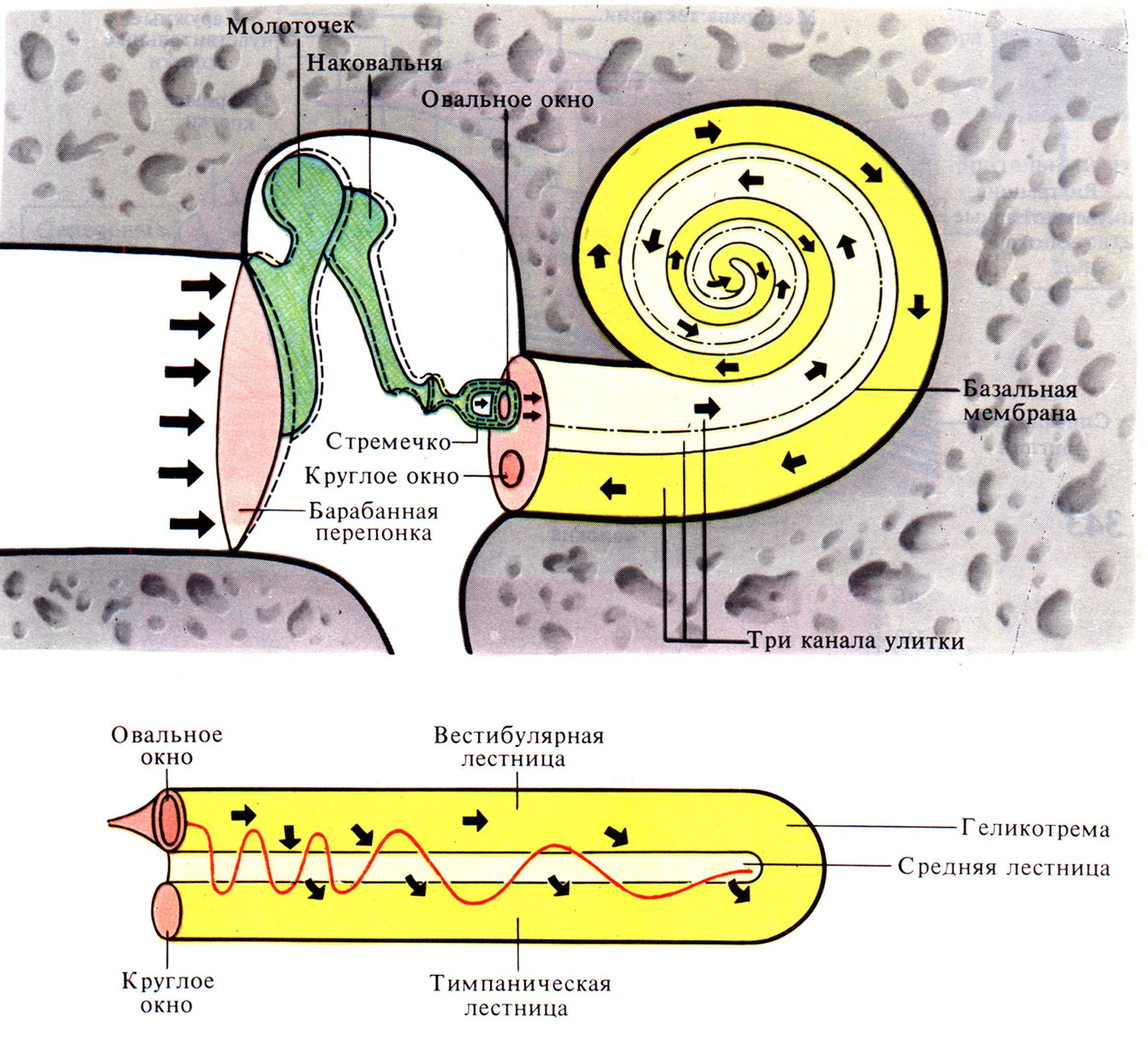 Схема распространения звуковых колебаний в слуховом анализаторе
