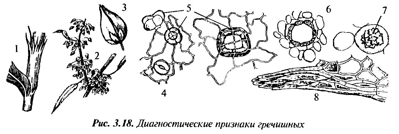 Форма поперечног сечения у стебля семейства маковых