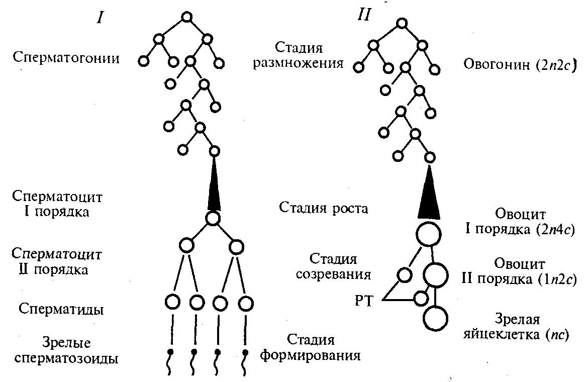 Сперматогенез основные этапы