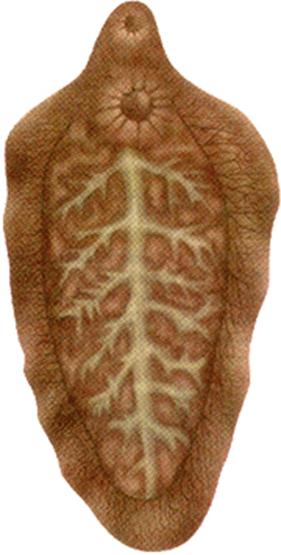 Клонорхоз - симптомы и лечение.