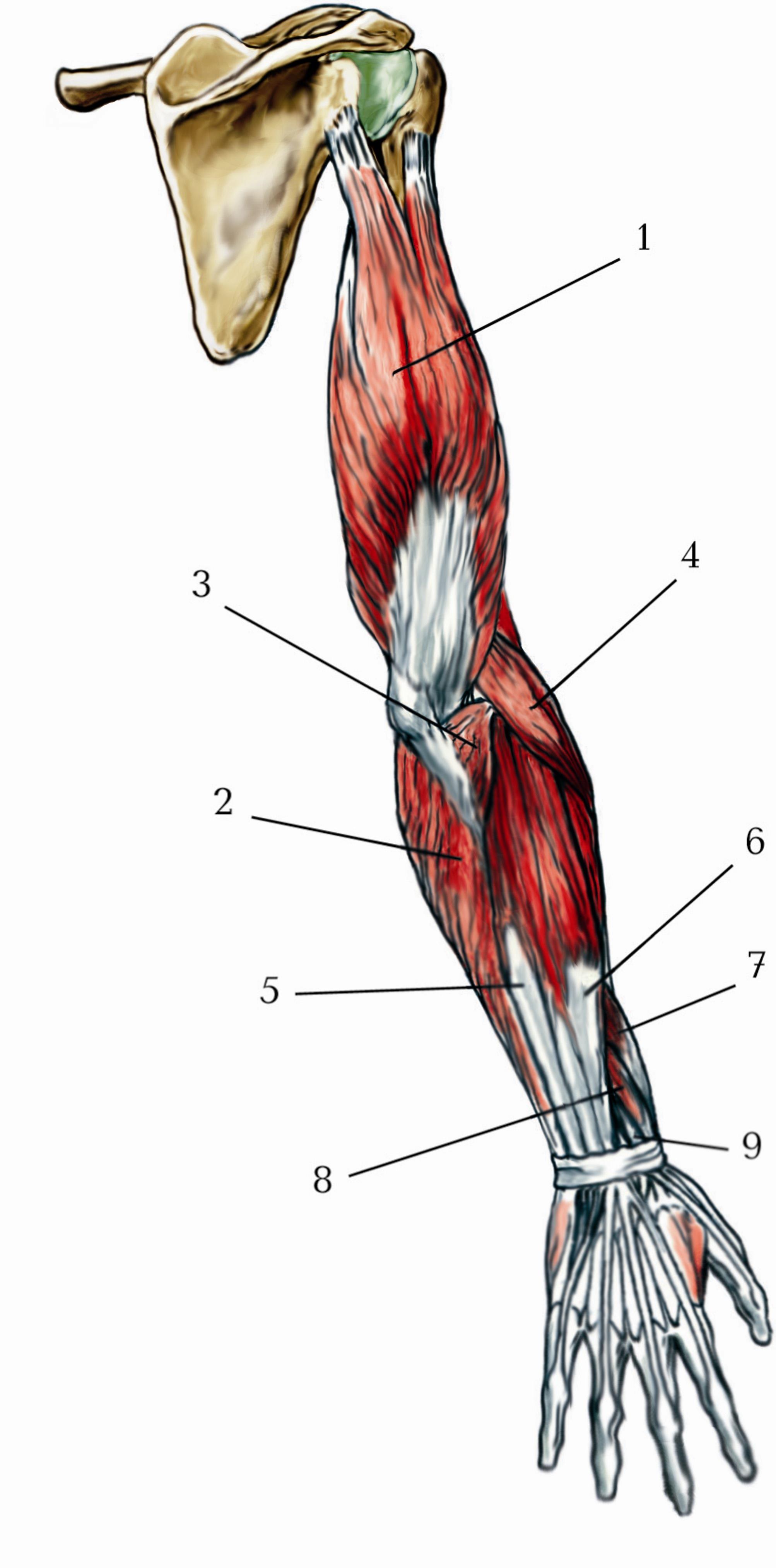Мышцы плечевого пояса схема
