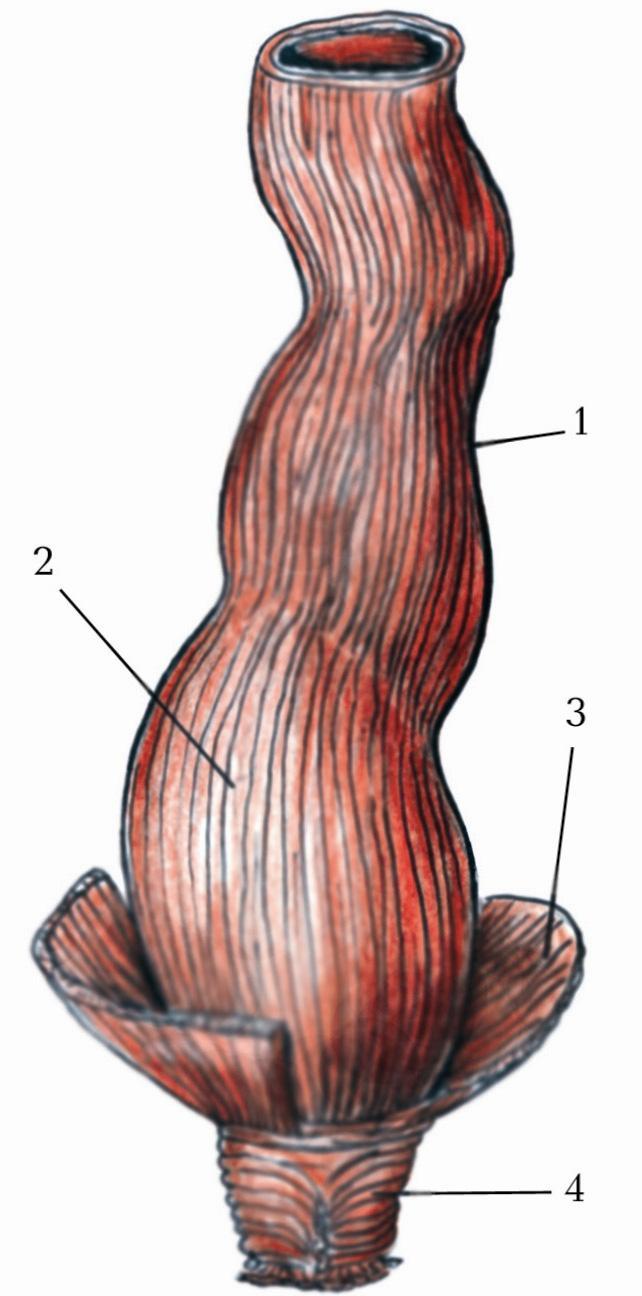 Картинка строения прямой кишки