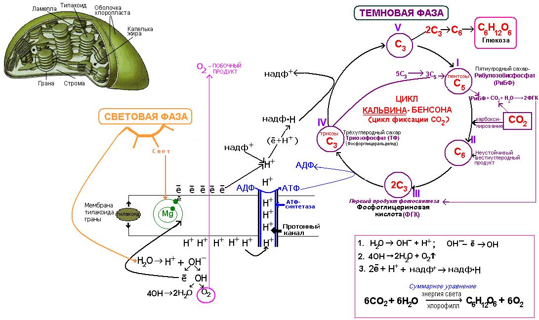 Фотосинтез просто и понятно