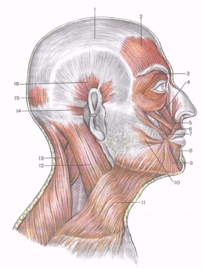 картинки мышц головы многие старые