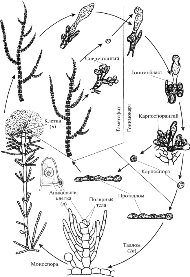 Гетероморфный цикл развития