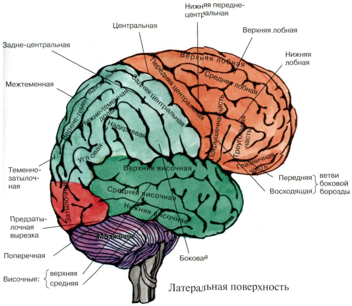 большие полушария мозга картинка перед