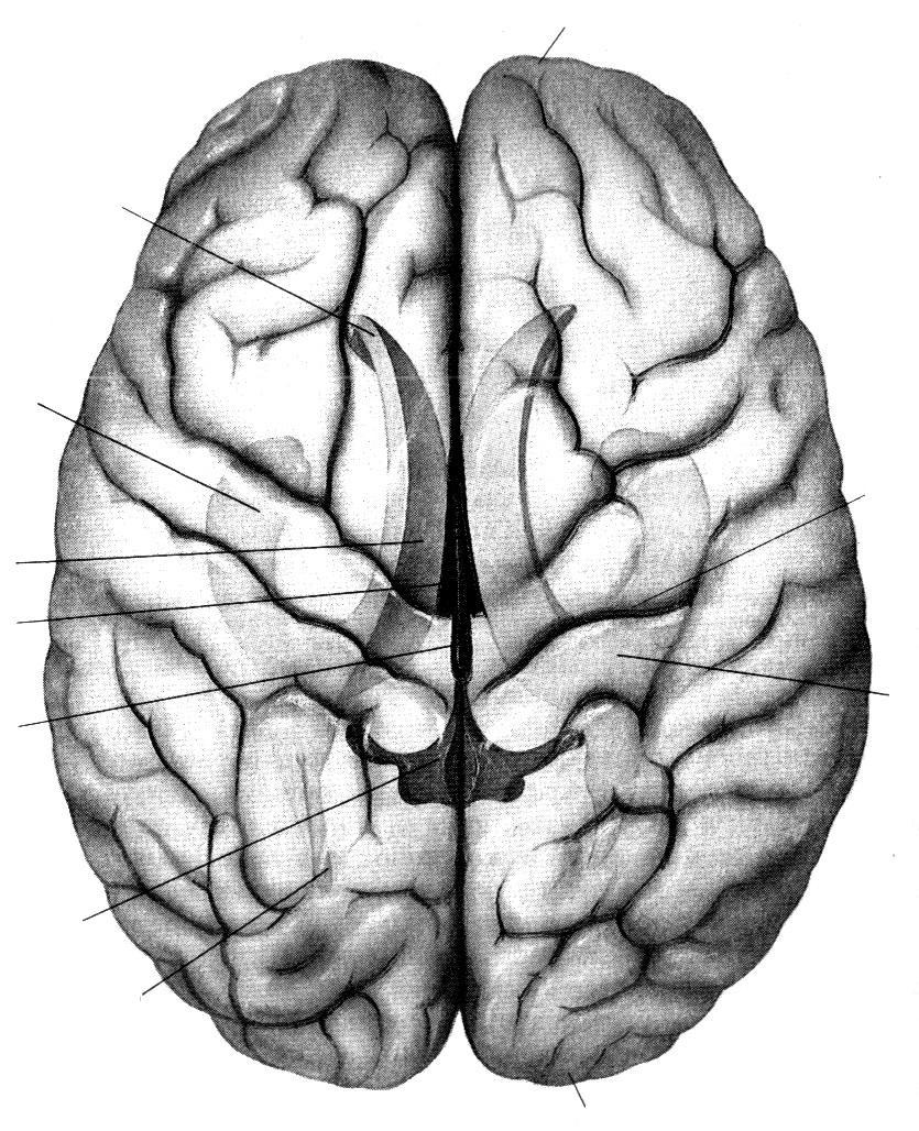 большие полушария мозга картинка маврикия