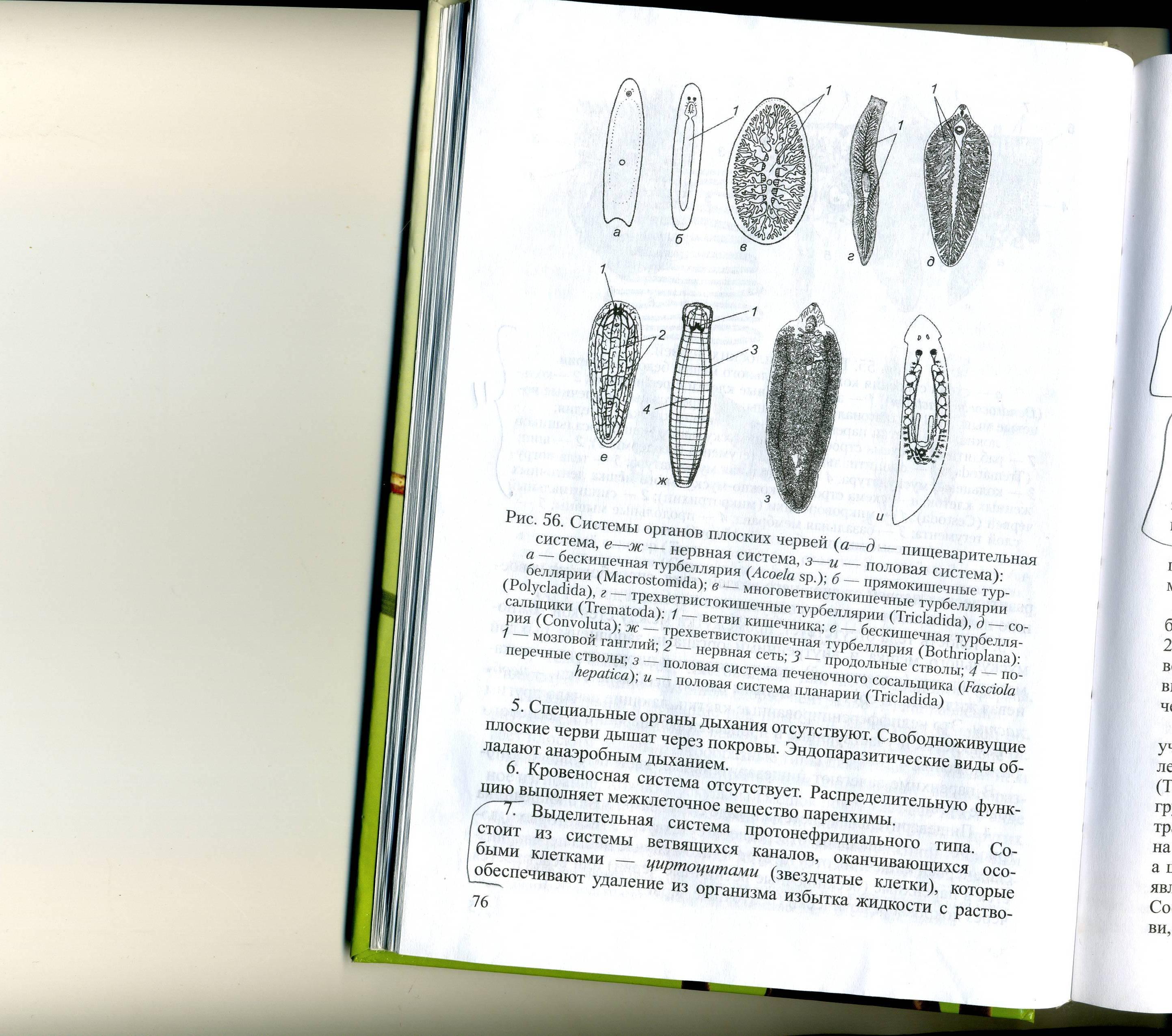 Нервная система плоских червей состоит из головного узла