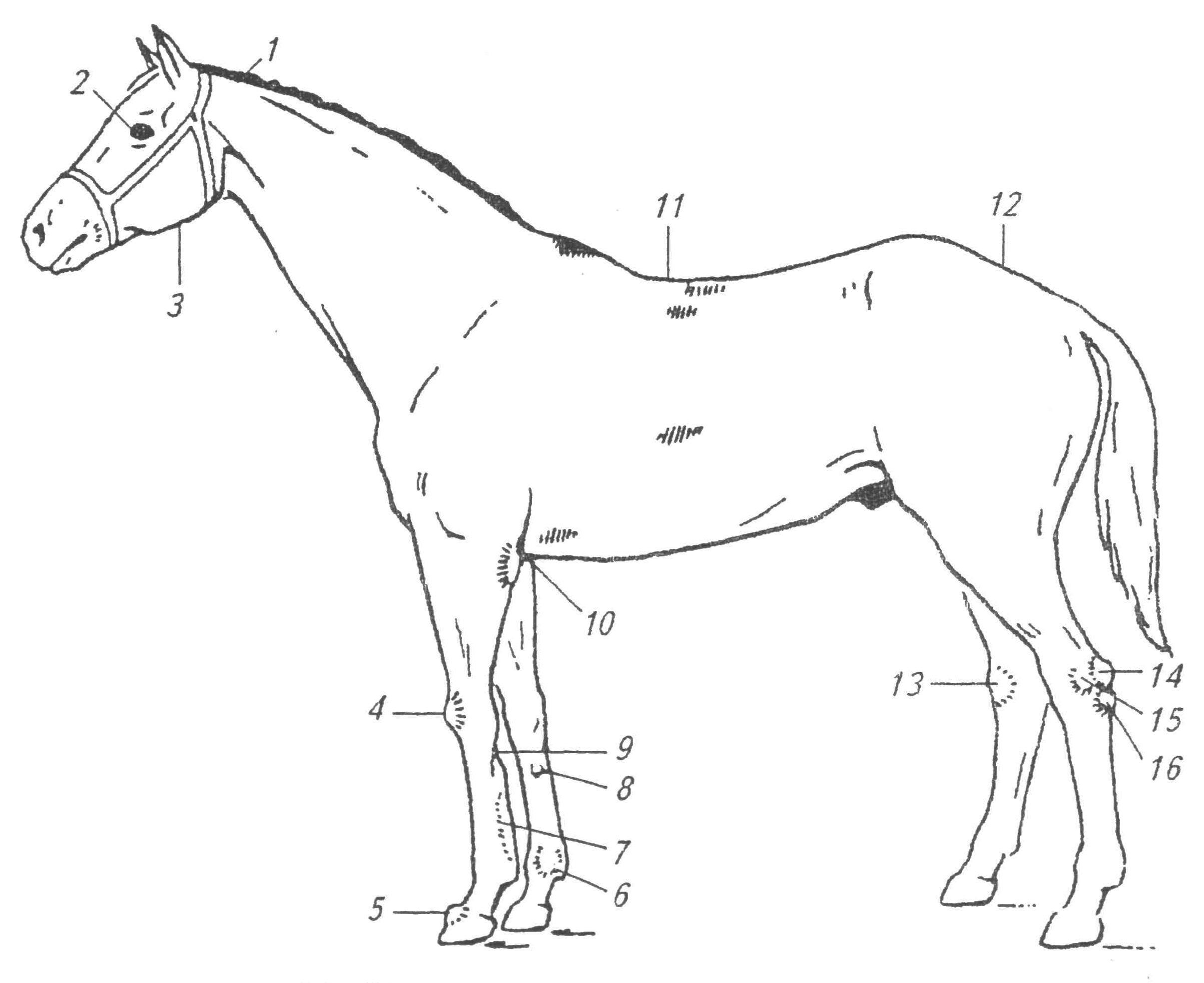 Экстерьер лошади недостатки и пороки