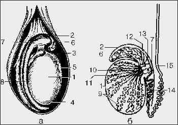 схема мужского яйца
