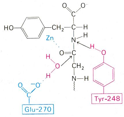 Действие карбоксипептидазы на пептиды туринабол нижний новгород