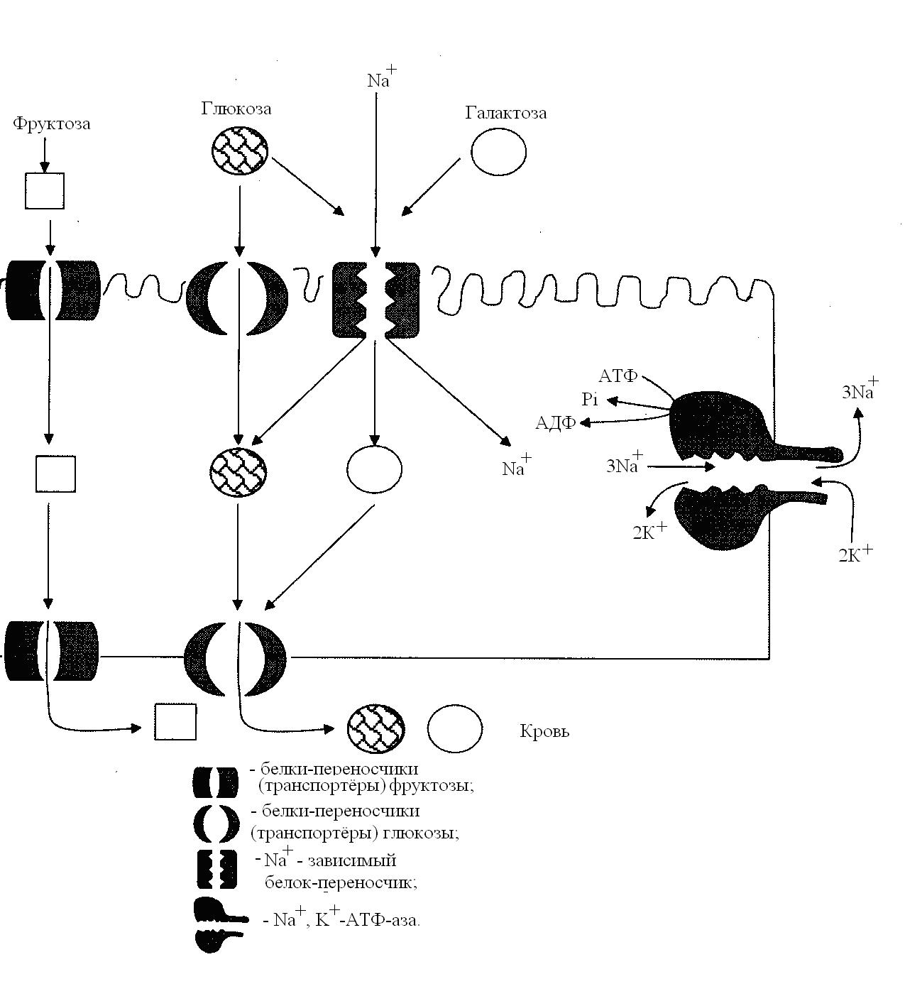 Транспортер глюкозы в клетке инструкция эксплуатации фольксваген транспортер т4