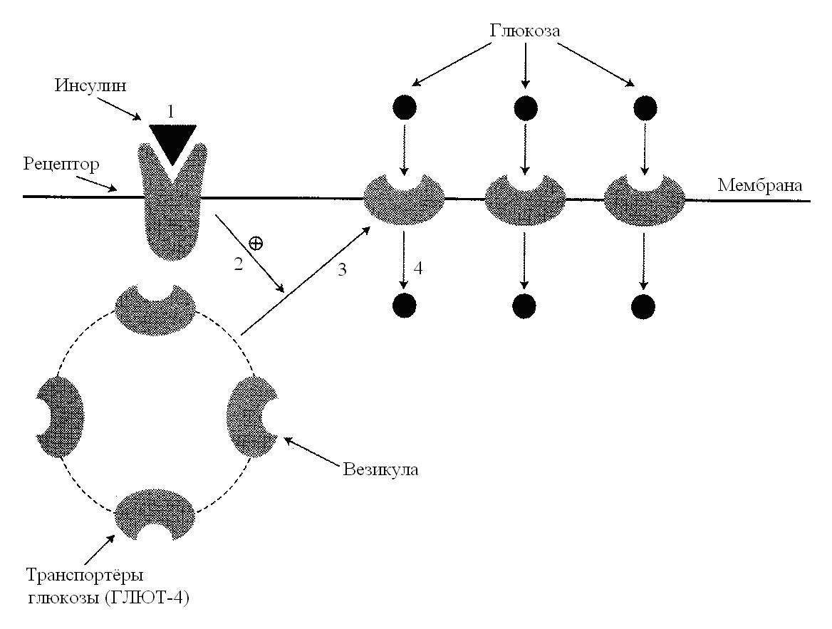 Глюкозный транспортер глют 4 разбор фольксваген транспортера т5