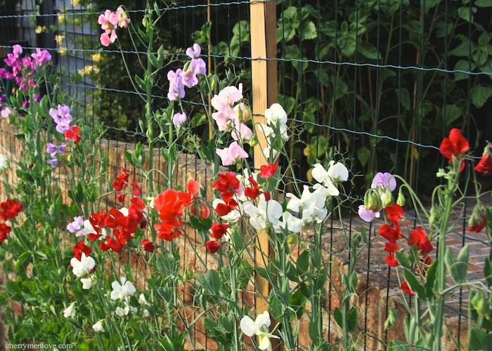 Выращивание душистого горошка однолетнего 460