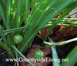 Как сажать семена подснежников 70