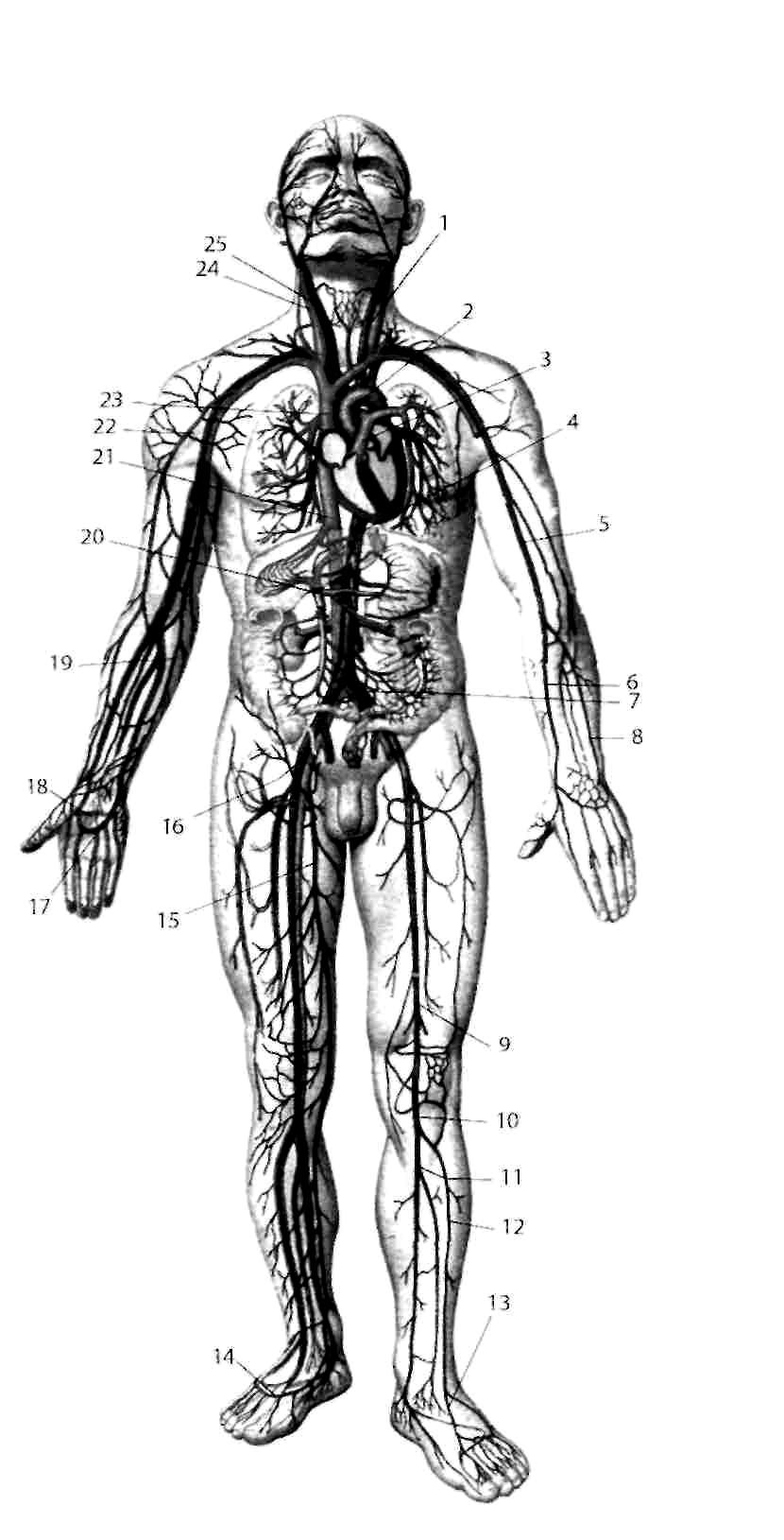 общая схема строения системы кровообращения