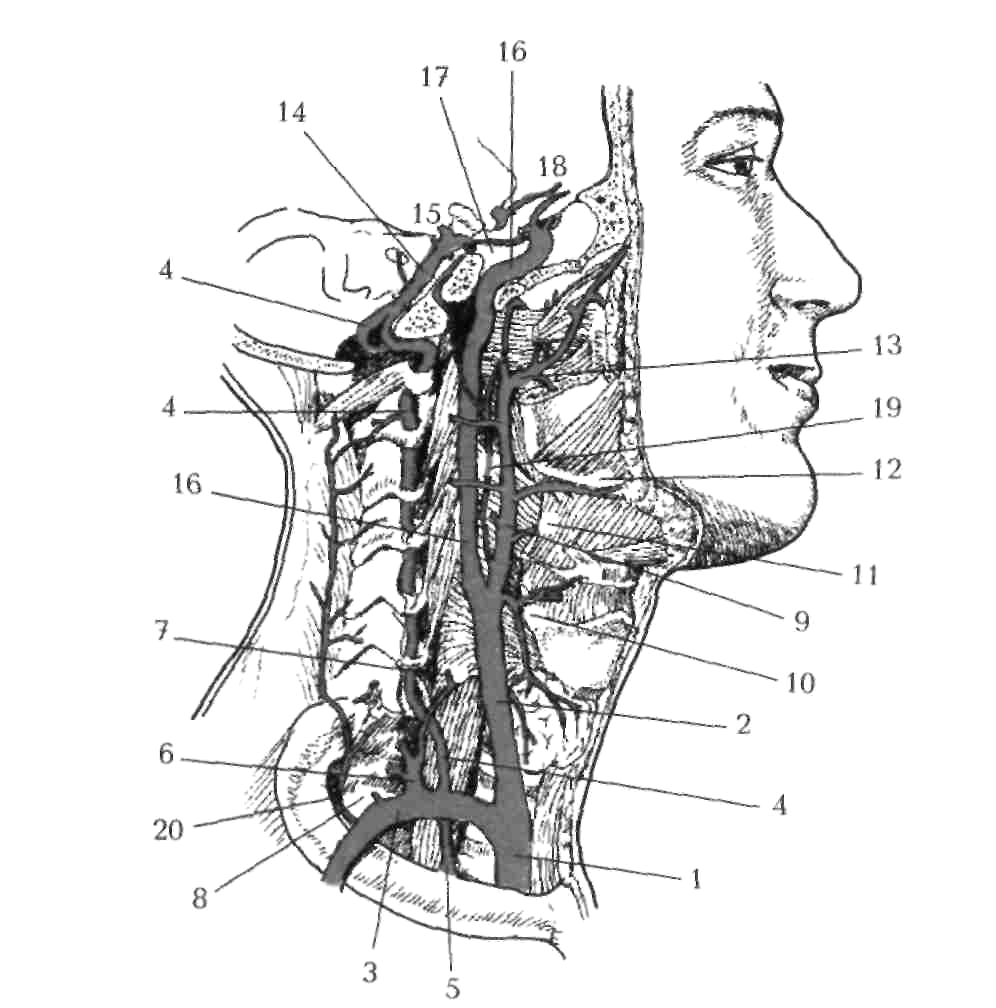 Артерии головы и шеи схема фото 243