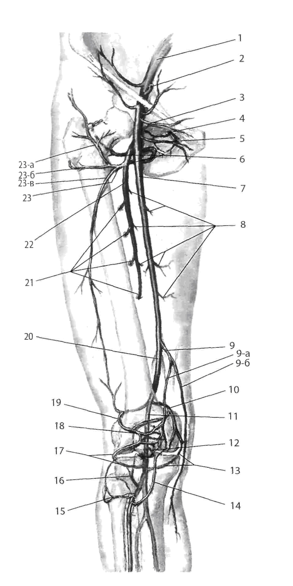 Артерии головы и шеи схема фото 860