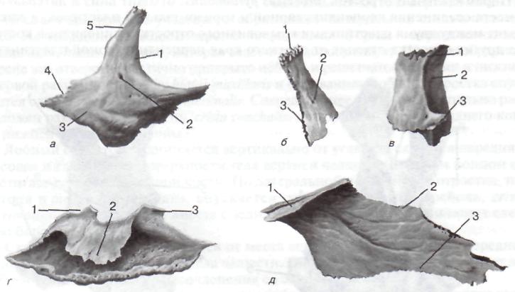Fissura petrotympanica на черепе