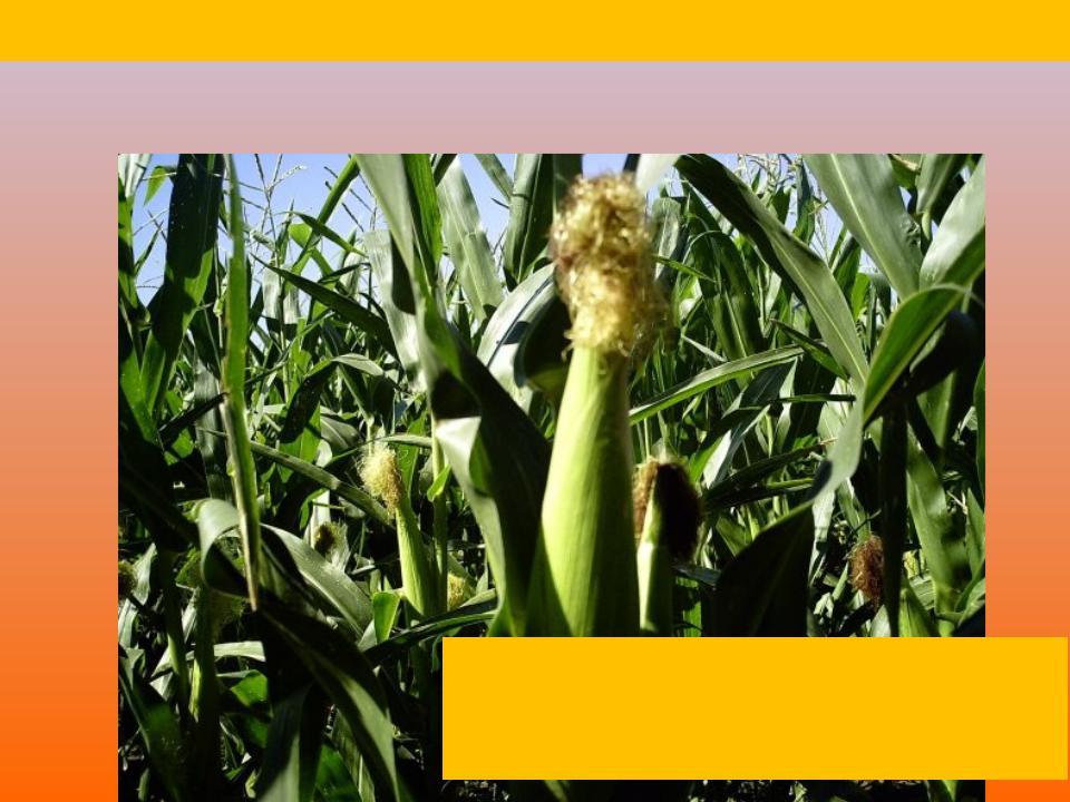 Кукуруза на силос реферат 6854
