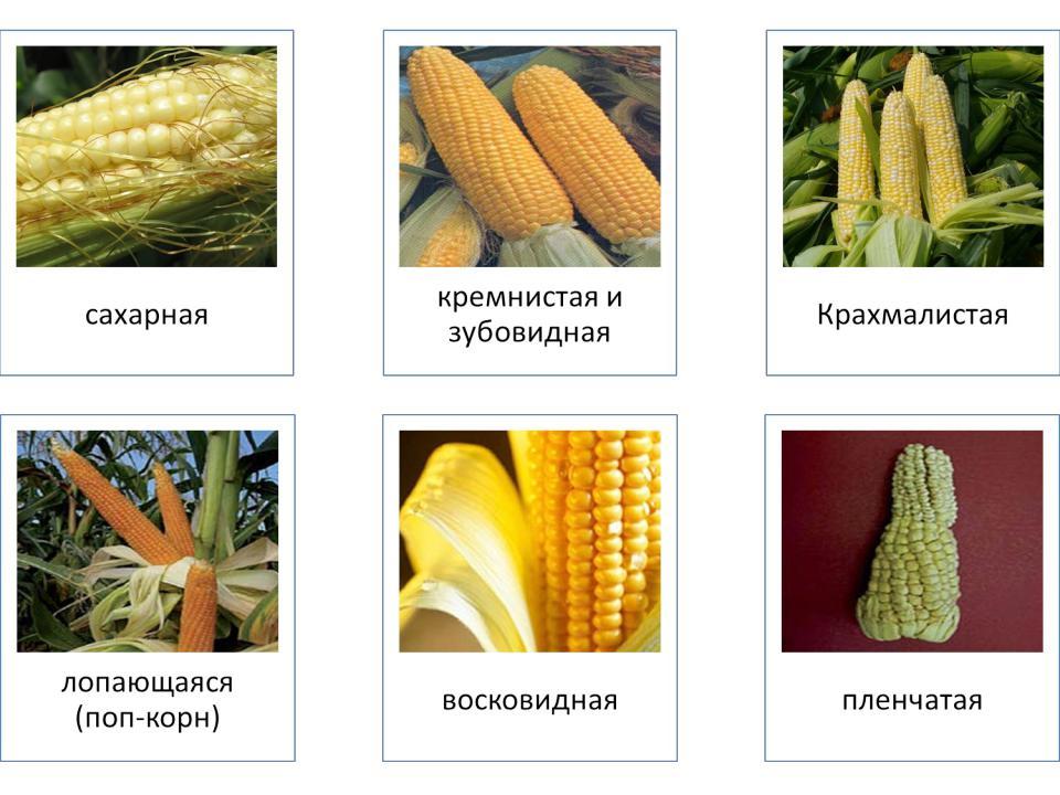 Кукуруза на силос реферат 773