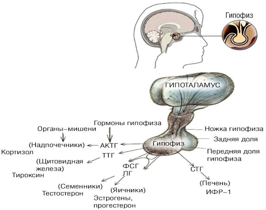 гормоны гипоталамуса картинки говорить количестве