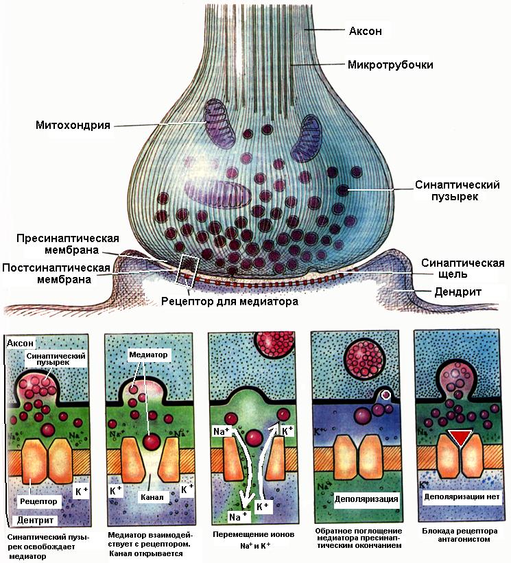 Нервно мышечный синапс реферат 394