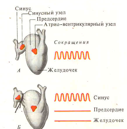 Проводящая система сердца  Википедия