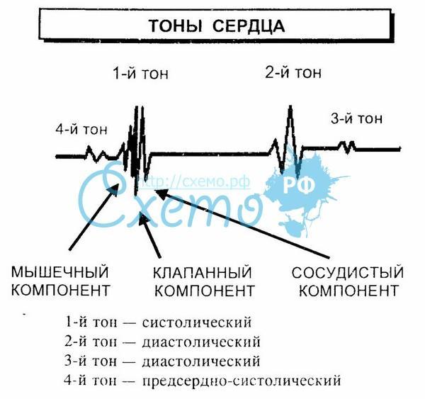 Аускультация сердца и сосудов. Происхождение сердечных тонов и шумов