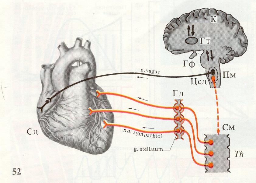 Сердечный цикл и его фазы, Значение клапанного аппарата в движении крови через камеры сердца