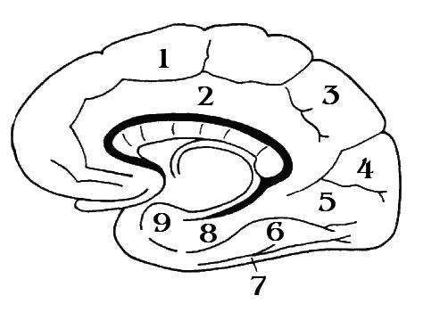 ПРОДОЛГОВАТЫЙ МОЗГ — Большая Медицинская Энциклопедия    Продолговатый мозг схема