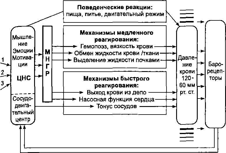 Схема функциональной системы регуляции минутного объема крови фото 35