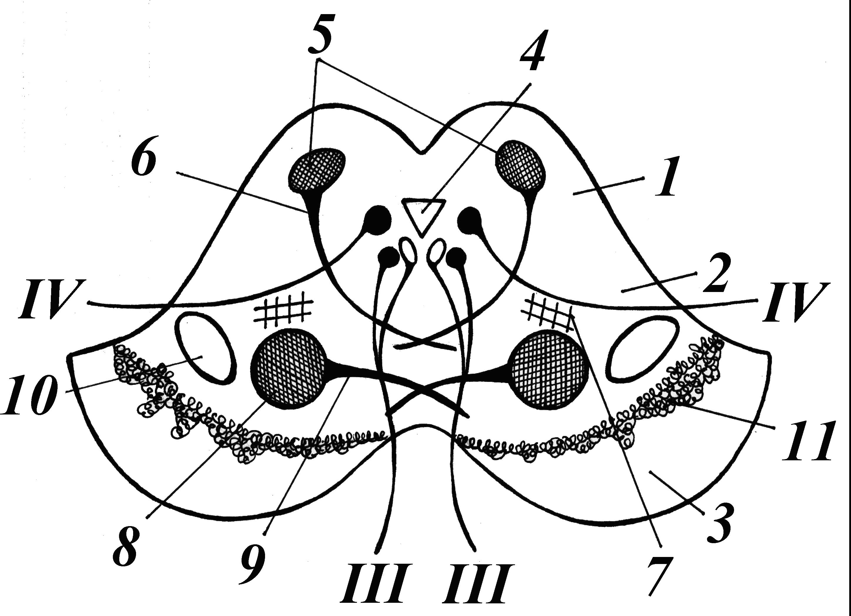схема зрительного тракта