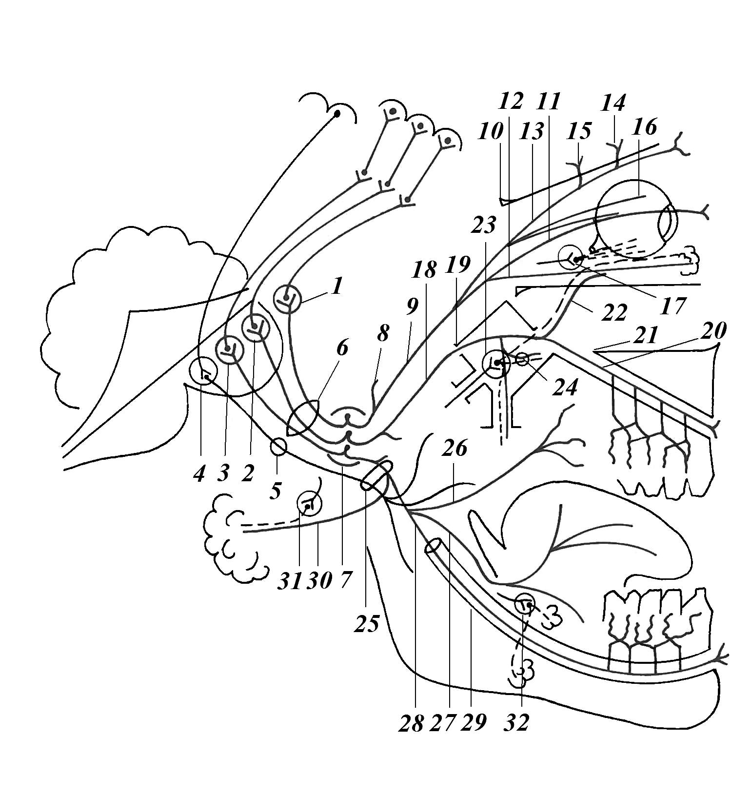 Схема черепно мозговых нервов фото 512
