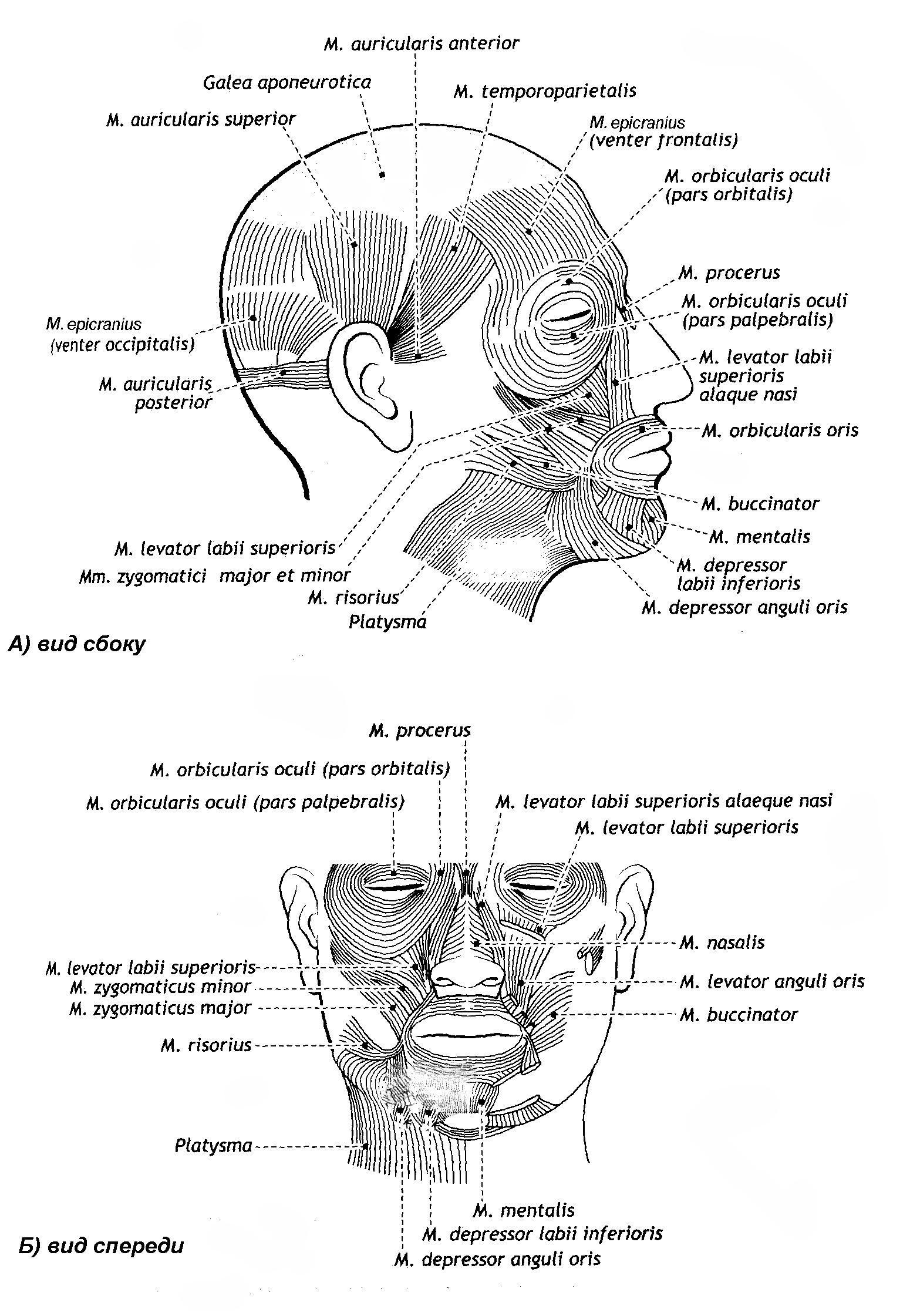 Артерии головы и шеи схема фото 738
