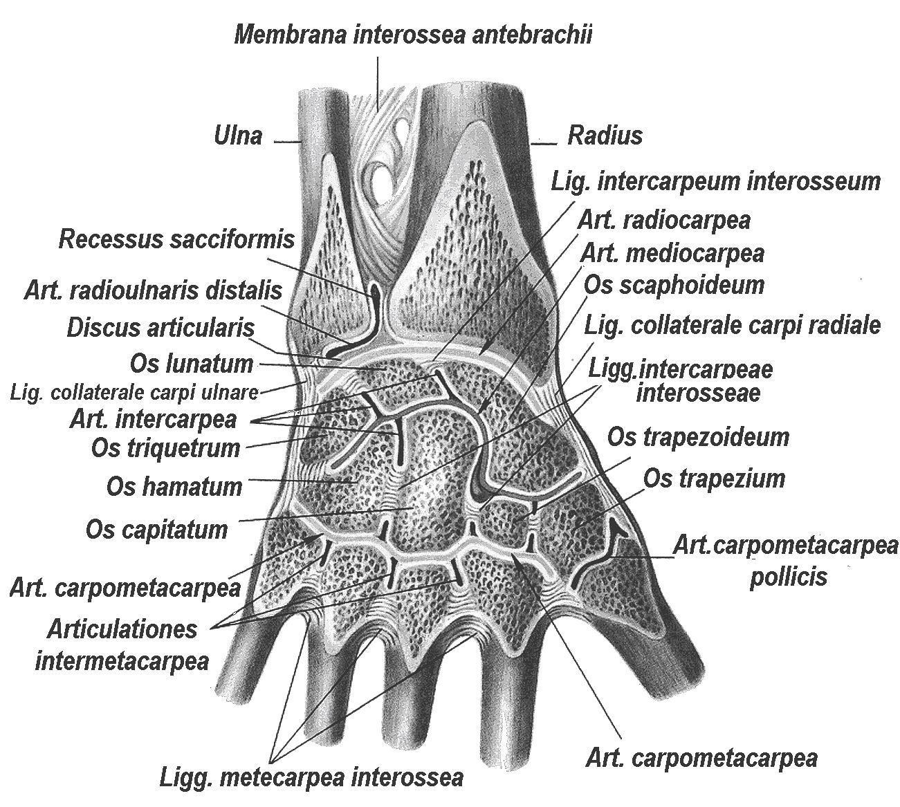 Среднезапястный сустав латынь - Все про суставы