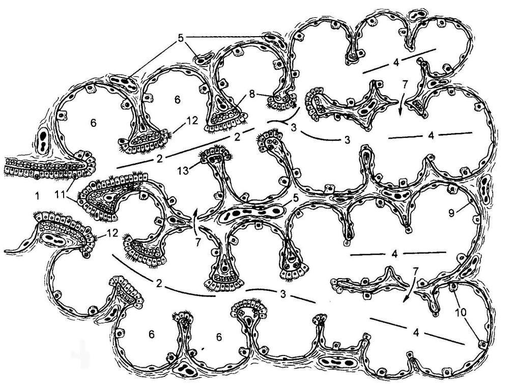 Лекция № 6. Строение и функции половых клеток (гамет)