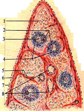 Лимфатический фолликул лимфатического узла