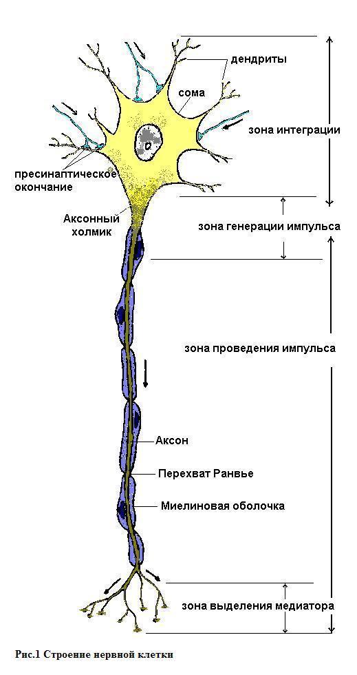 Картинки нейрона с подписью