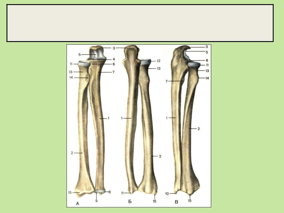 картинка лучевой и локтевой кости советуют опытные хозяйки